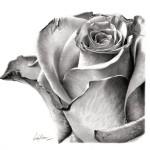 ako kresliť ružu, návod