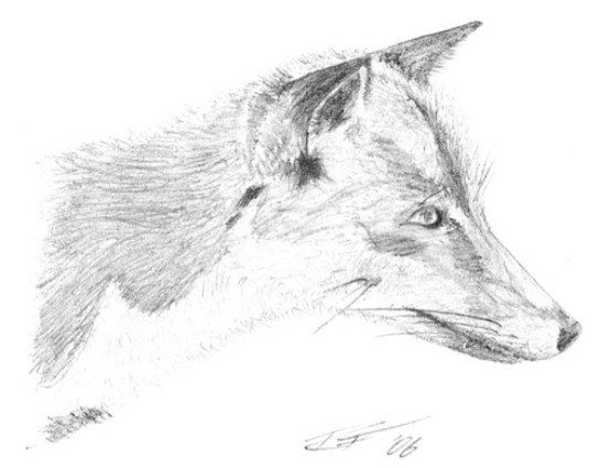 red-fox-facts-and-information-drawing-13