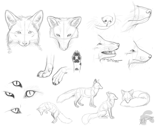 red-fox-facts-and-information-drawing12 (1)